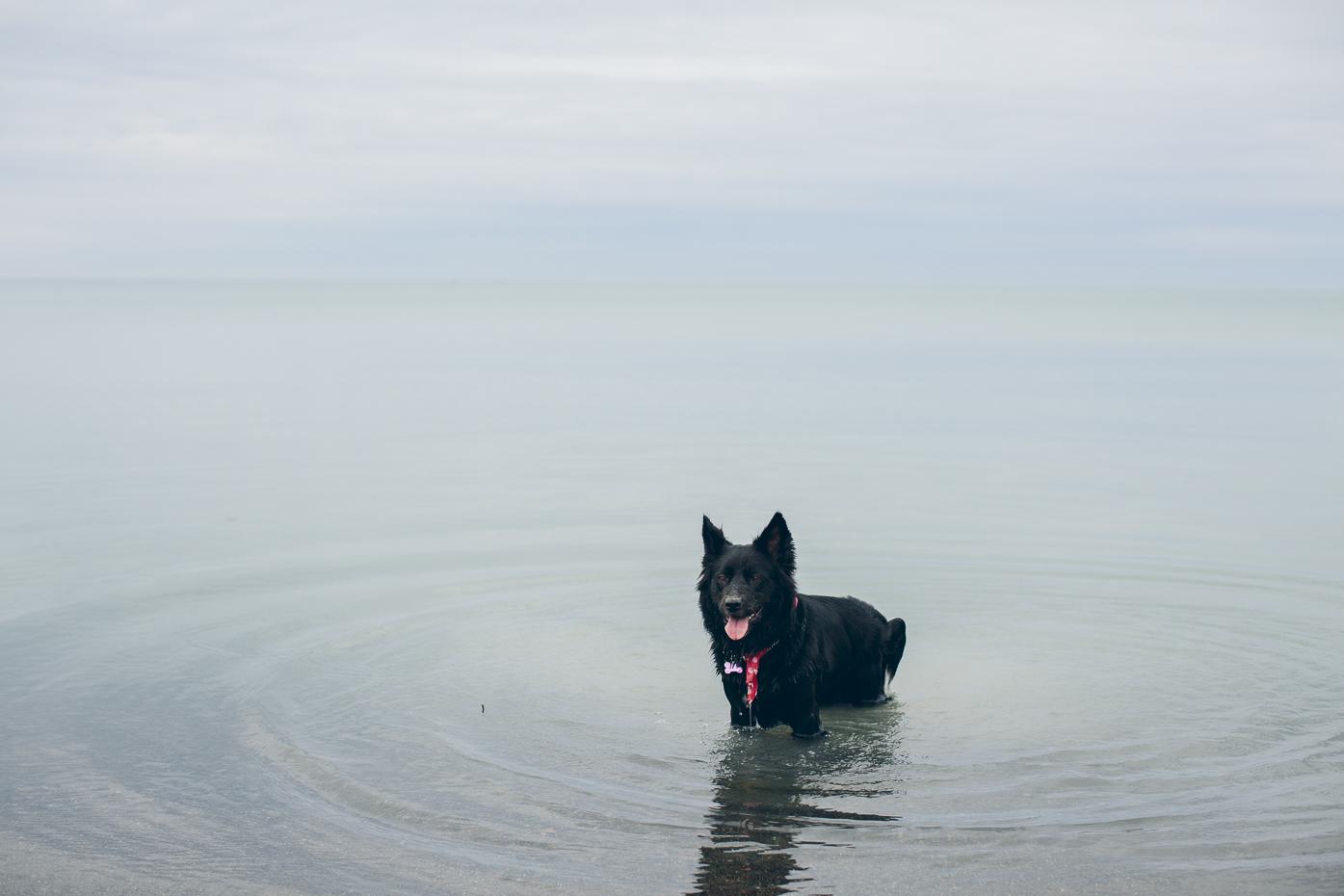 Dog in Lake Ontario. Scarborough Bluffs