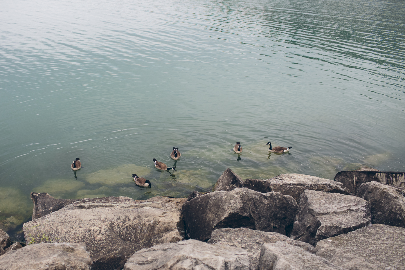 Canada Geese in Lake Ontario