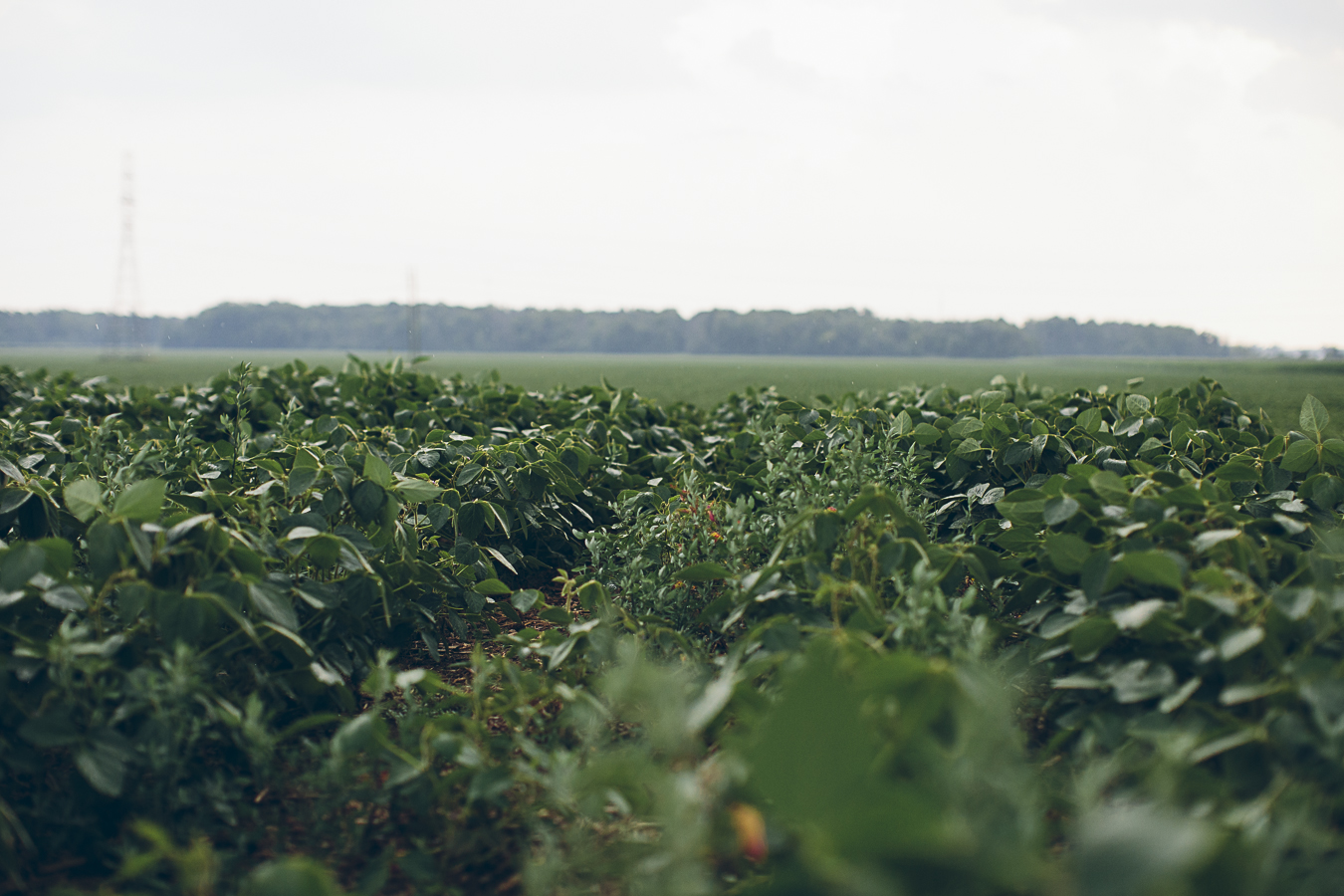 Soy fields in Southern Ontario